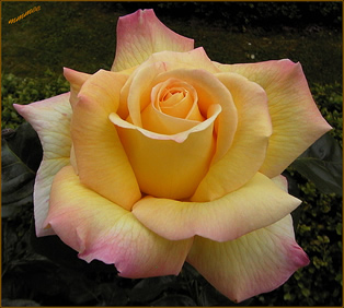 Rose of Peace, yellow petals turning pink at edges